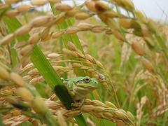 『ローマ法王に米を食べさせた男』